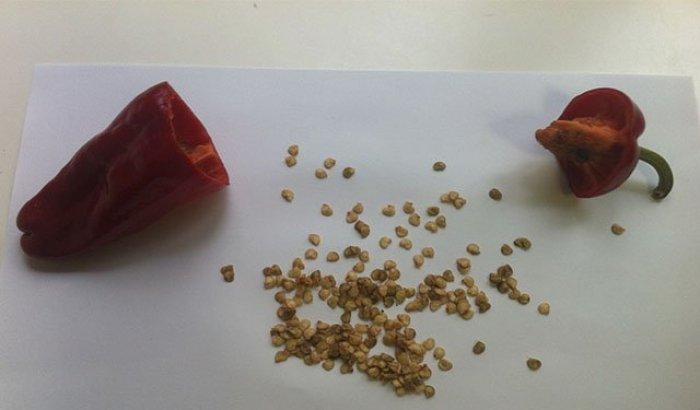 Como obtener semilla de pimiento