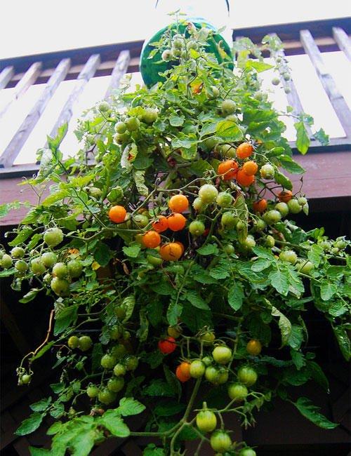 Como plantar tomates en botellas de plástico16