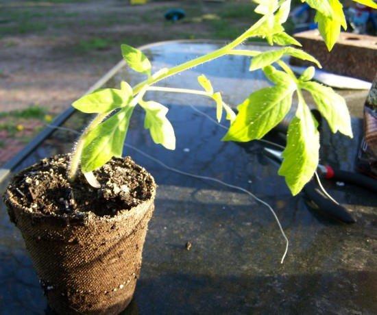 Como plantar tomates en botellas de plástico7