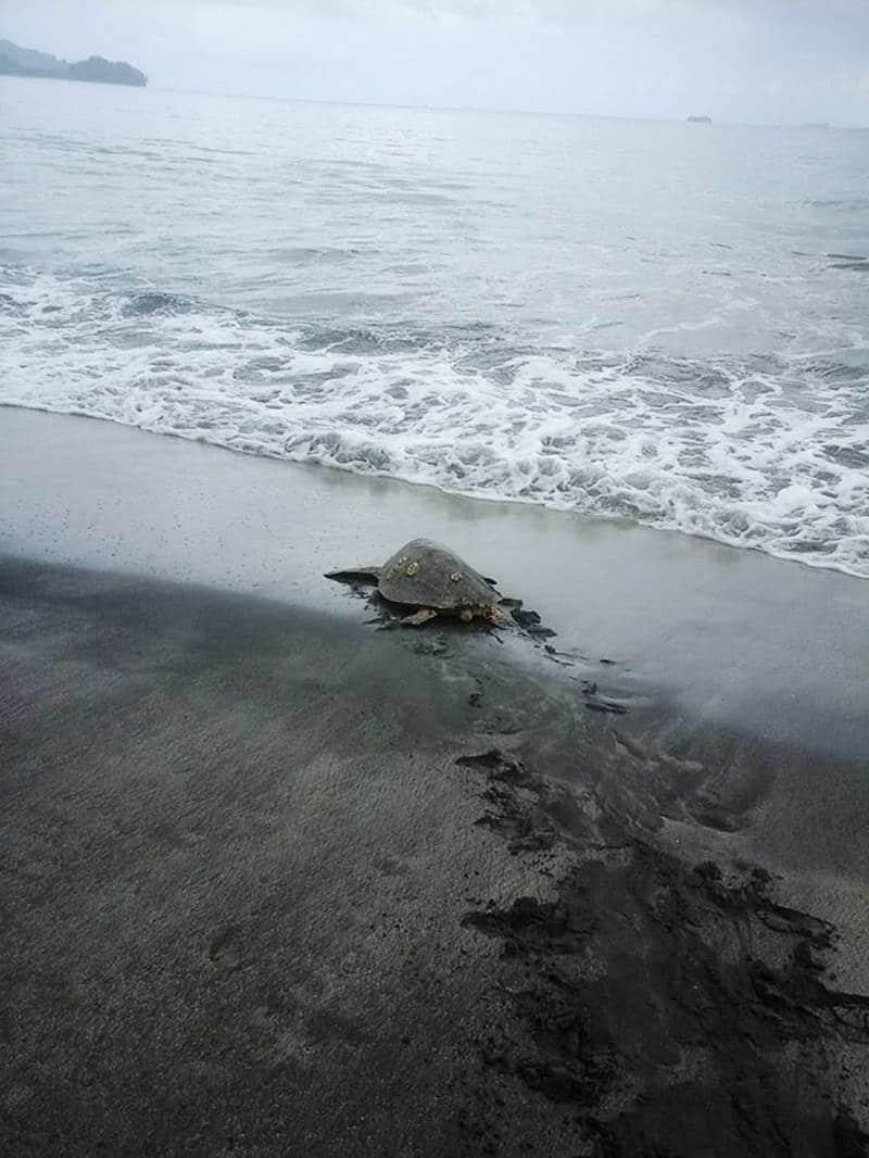 Tortugas salvadas Papua Guinea2