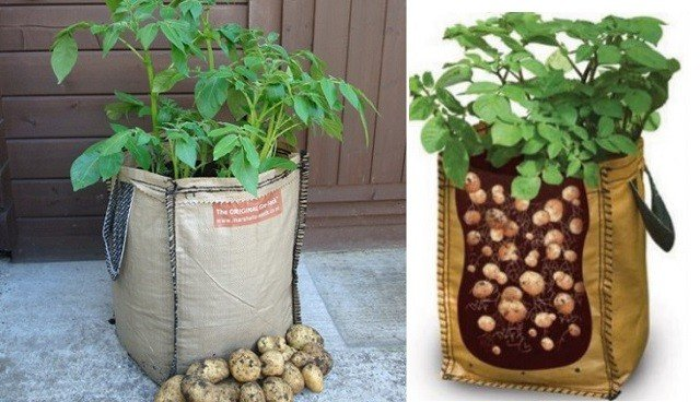 Cultivar patatas en bolsas de cultivo