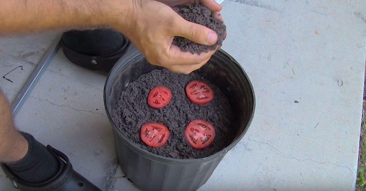 La forma más fácil de cultivar plantas de tomate, o no