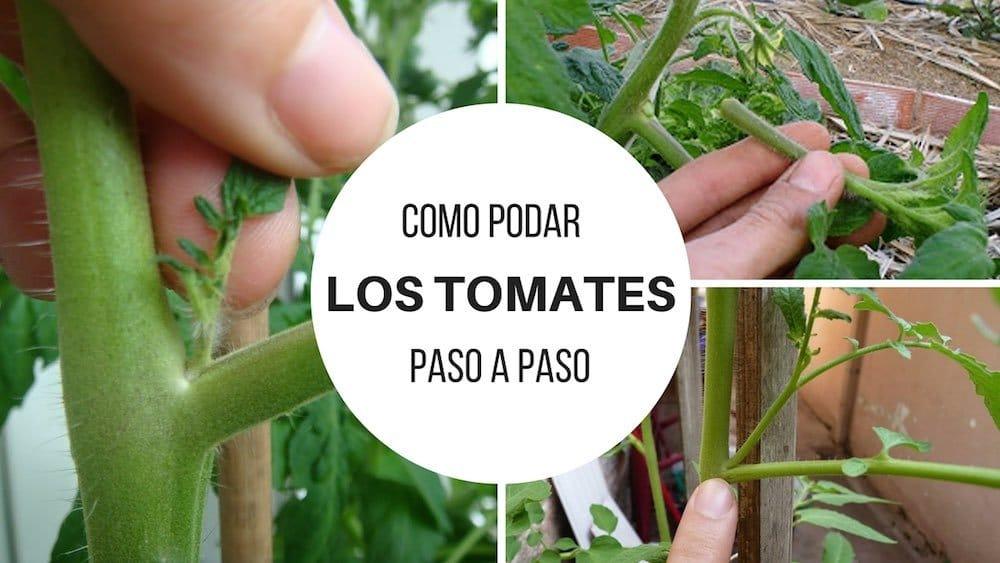 Como podar los tomates