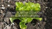 Cómo plantar lechugas en el huerto urbano