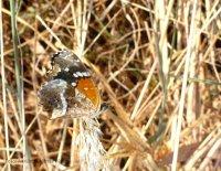 Una mariposa (Lepidoptera) posada en el Arboretum.