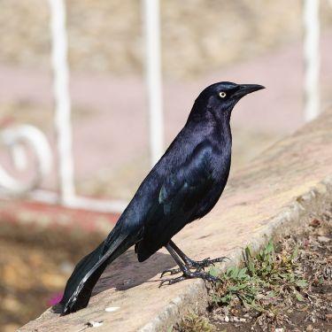 Ejemplar macho. Foto: Wikipedia.Org