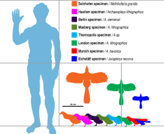 Diferentes tamaños de Archaeopteryx.