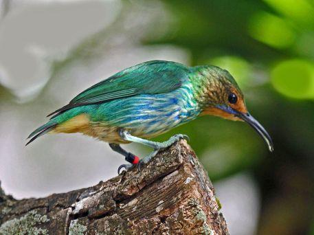 Hembra. Foto: Dick Daniels (Carolinabirds).