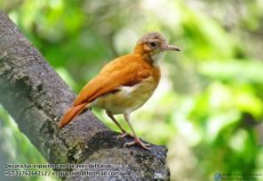 Hornero albañil (Furnarius leucopus). Foto: Jose Luis Ropero.