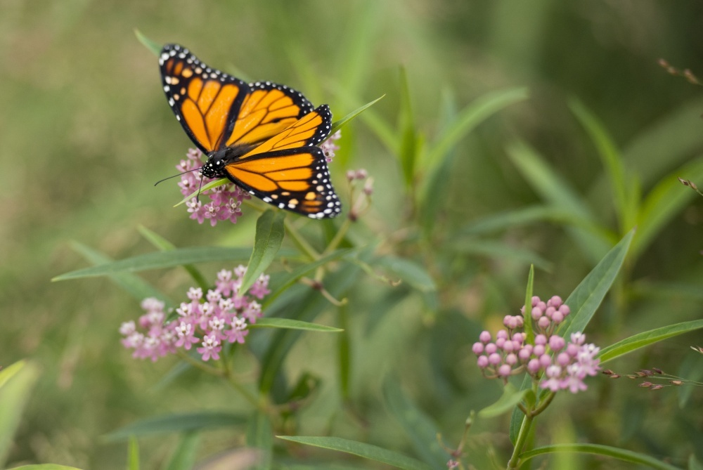 image: plants that attract butterflies in Los Angeles