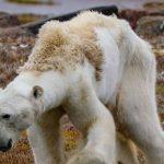 Los osos polares podrían desaparecer por el calentamiento global