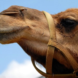 weekly roundup and working at home camel in the tent
