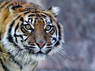 """""""The number of wild tigers has been revised to 3,890, based on the best available data,"""" said WWF and the Global Tiger Forum (GTF)."""