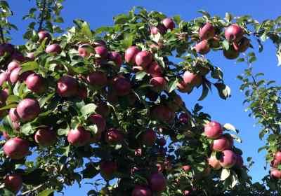 pommes pommiers verger