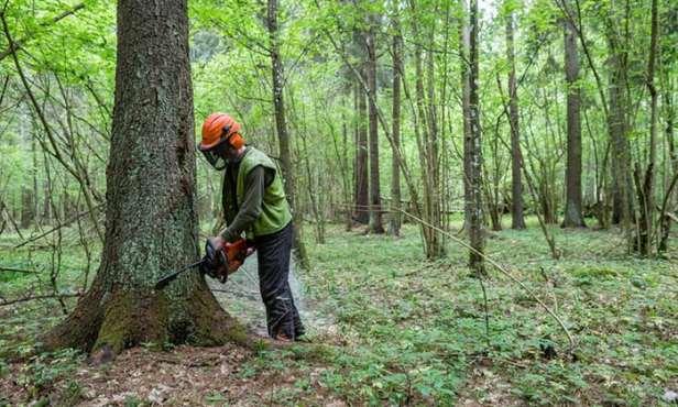 La forêt deBiałowieża