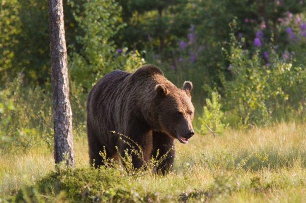 Les autorités locales doivent vérifier comment les deux ours ont réussi à entrer sur la route.