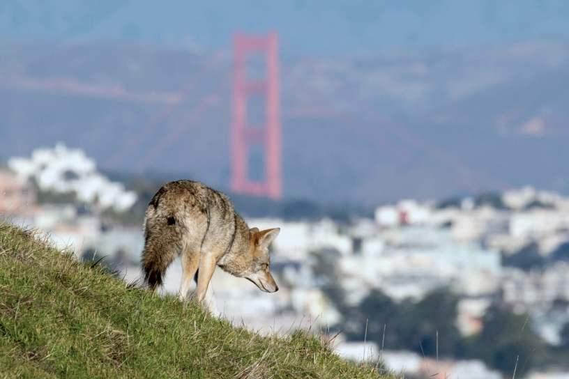 La Coyote Lady, résidente de San Francisco, a rencontré son premier coyote tôt un matin de juin à Twin Peaks, l'une des plus hautes collines de la ville.