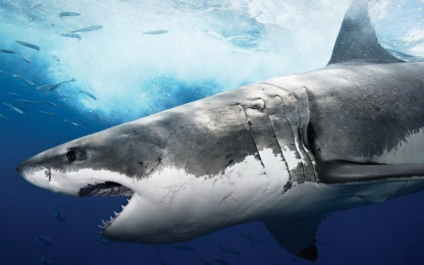 Animal-pictures-sharks-wallpapers-hd-photos-shark-wallpaper-4