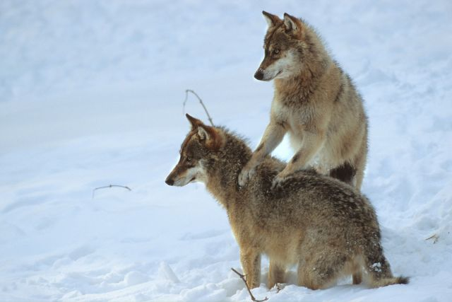 RC_2006_Loups_048