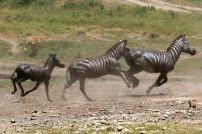 Ndutu Zebrajagd 2 © Win Schumacher Weltwege
