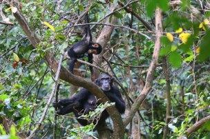 Mahale Mountains NP Schimpansenmutter mit Kind 1 © Win Schumacher Weltwege