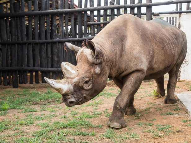 rhino-in-akagera-national-park-copyright-scott-ramsay-african-parks-2