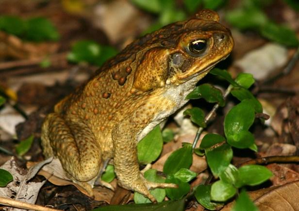 Cane-Toad-Photos