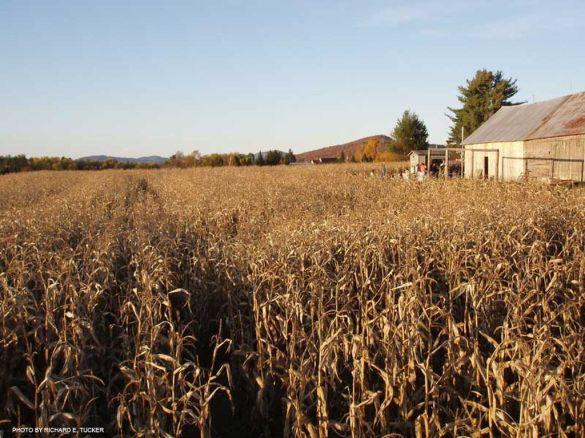 Corn Maze-Adirondacks-Radio-Family-Day