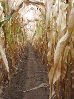 Corn Maze-Adirondacks-Tuckertaters