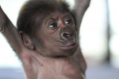 Female gorilla born at Bristol Zoo 12022016 (2)