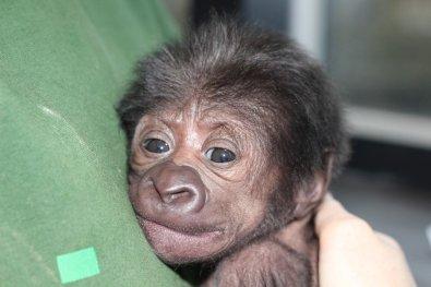 Female gorilla born at Bristol Zoo 12022016 (3)