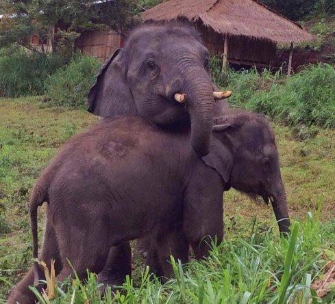 Baby Zuki recovering at elephant nature park thailand