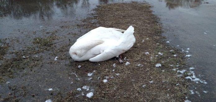 Lebădă moartă găsită la Prutul de Jos. Foto: Viorica Paladi
