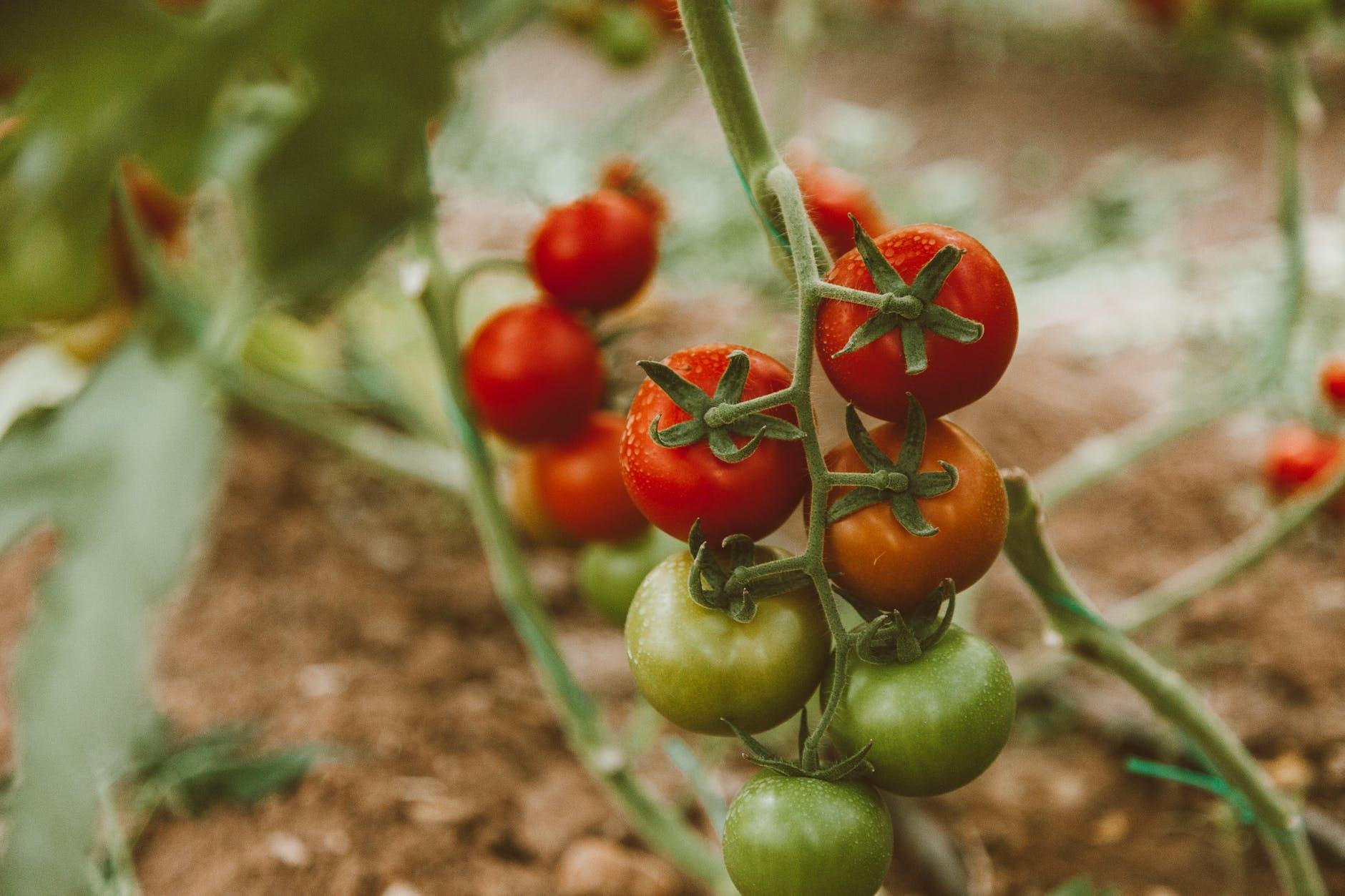 Prune tomato plants-how to prune tomato plants 2021