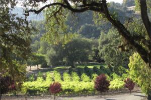 Warnecke vineyard with oaks