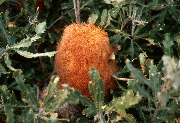 Brown furry flower surrounded by jagged edged green leaves