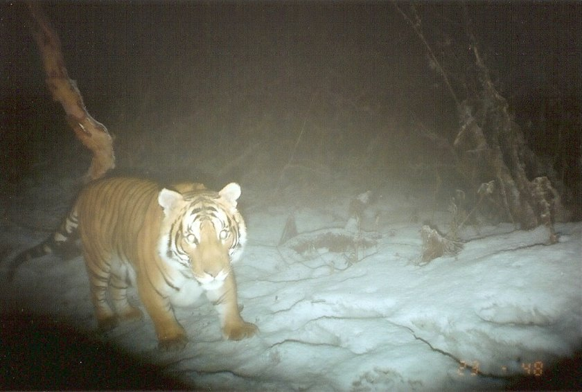 A tiger in the dark with a light shining on it