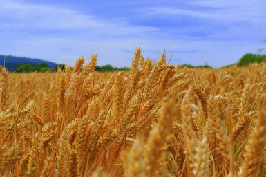 Close up of wheat heads and blue sky in background