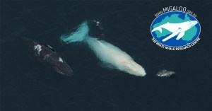 A white humpack whale swimming with a regular coloured humpback and a dolphin