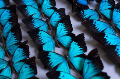 Blue and black winged butterflies pinned to a board