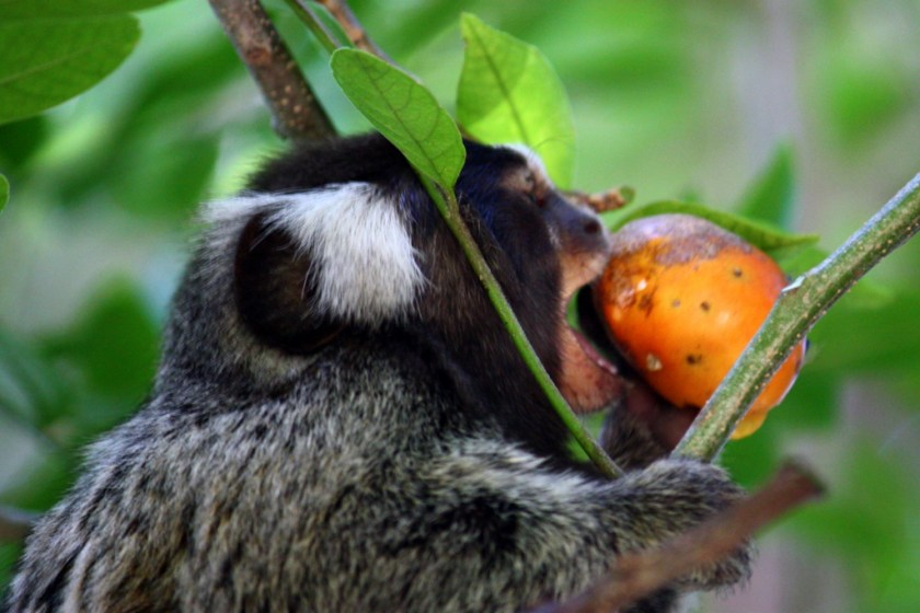 A tamarin in among tree branches and leaves eating a bright orange fruit.