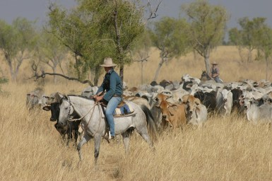 Two stockmen with a herd of cattle in grassland