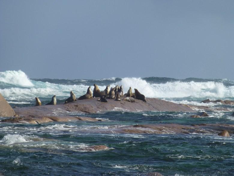 seals on a rock with sea crashing around