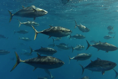 underwater image of school of tuna