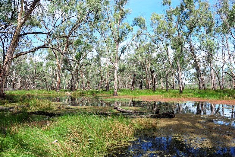 river bed in flood with red gums