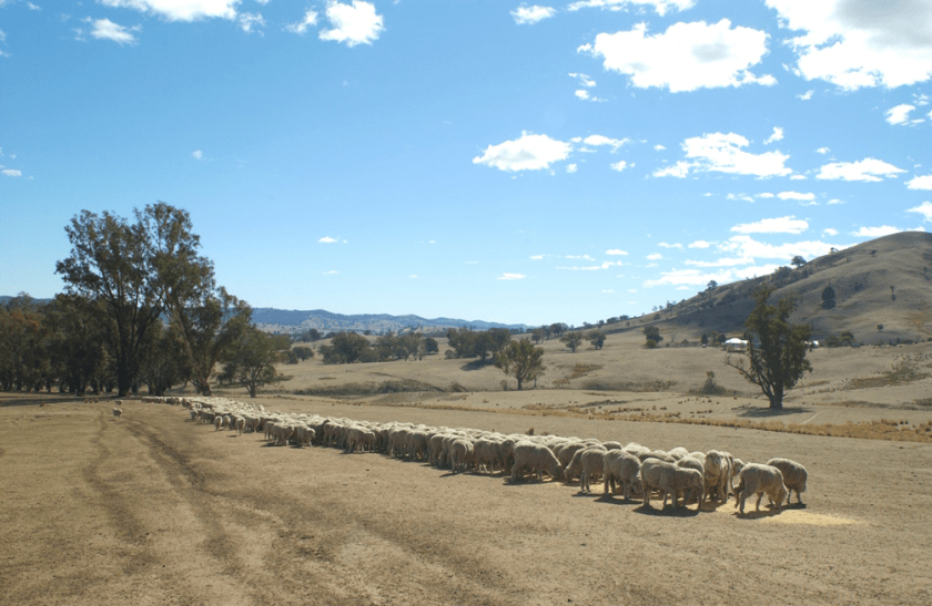 sheep in a line eating grain with a bare hill behind