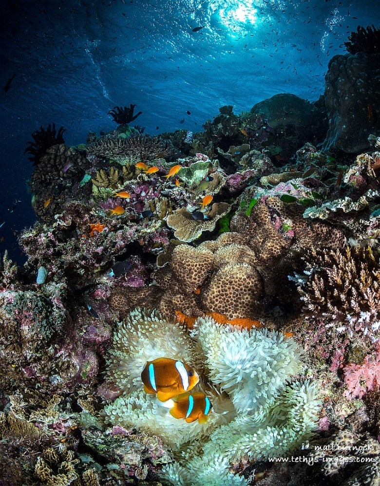 clown fish in the foreground, near anemone and coral reef