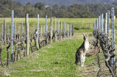 kangaroos lying and standing in the rows of vines
