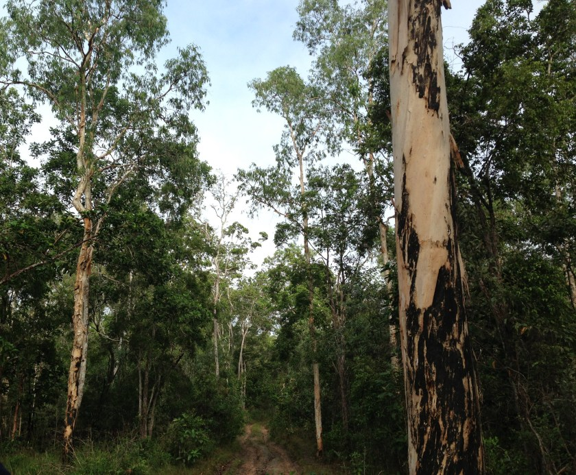 A forest of tall paperbark trees with a trail running through.