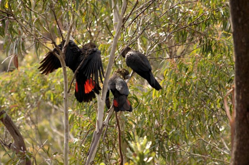 Photo of three Glossy Black-cockatoos in a eucalypt tree.